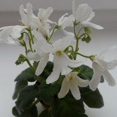 Lunar Lily -white