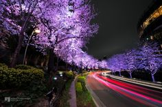 Illuminated Cherry Blossoms with Tail Lamp by Kenji Yamamura, via 500px