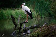 The Stork by ArTi Lichtwerk.Photography on 500px