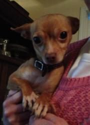 Flower is an adoptable Chihuahua Dog in Ringwood, IL. Click here to visit out website: Pets In Need Midwest No-Kill Animal Shelter  ...