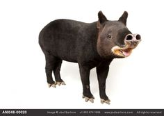 Mountain tapir inhaling