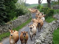 The Hillside herd makes its way to the parlour in the scenic Yorkshire Dales.