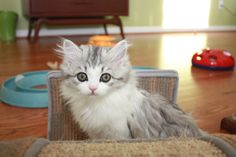 RagaMuffin Breeder of RagaMuffin kittens and RagaMuffin cats for sale. Ragamuffin Kittens, Kittens Cutest, Kitten For Sale, Cats For Sale, Fancy Cats, We Fall In Love, Gentle Giant, Cat Breeds, Cat Lady