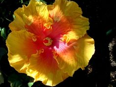 Love tropical hibiscus in all colors in pots around the pool. Non stop wow factor all summer   # Pin++ for Pinterest #