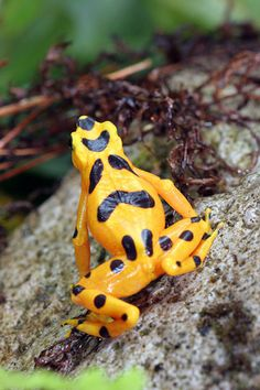 """Panamanian Golden Frog, Atelopus zeteki  -  El Valle, Panama.  The highland variety of this frog as depicted here is bright yellow.  Lowland A zeteki are more dingy or """"dirty yellow.""""  it is likely that the highland form of this species is now extinct in the wild as the frog has not been seen at any historical localities for nearly 5 years (since 2007).   addendum: it is now likely that the species in its entirety may now be extinct in the wild (2012)."""