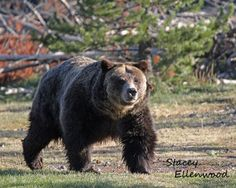 Grizzly in West Yellowstone