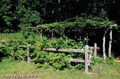 Raspberry patch against a split rail fence with a grape arbor beyond