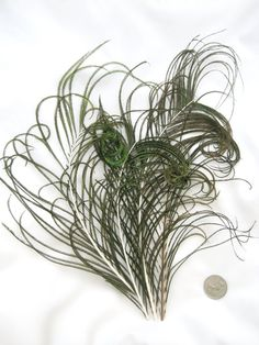 NATURAL green peacock feather sprigs curled for hats by pegasus22, $5.00