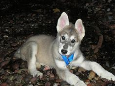 Northern Inuit puppy - I Found my dream Dog, just got to go to the UK to get it...