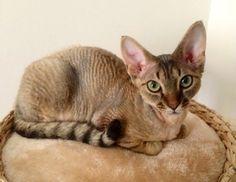 My Devon Rex kitten Stanley Devon Rex Kittens, Cornish Rex Cat, Sphynx, Kitty Cats, Pixie, Baby, Animals, Cute Kittens, Cat Breeds