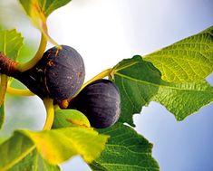 Vypestujte si vlastný figovník! | Urob si sám Indoor Plants, Flora, Plant Leaves, Vegetables, Fruit, Garden, Kiwi, Plants, Inside Plants