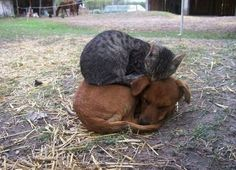 It's a cat sleeping on a sleeping dog!
