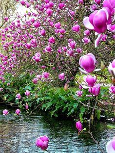 Gorgeous Pink Magnolia!!