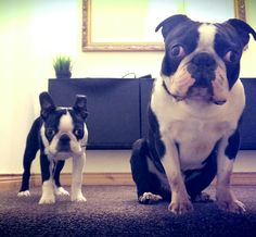 Boston terrier puppy and adult French Bulldog Puppies, French Bulldogs, Cute Puppies, Cute Dogs, Feel Good Pictures, Boston Bull Terrier, Baby Dogs, Doggies, Akc Breeds