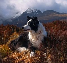 Sheep Dog Scotland