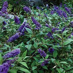 Blue Heaven Flutterby Petite™ Butterfly Bush