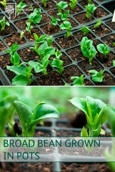 Royal Horticultural Society (RHS) - Transplant broad beans grown in pots