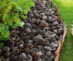 Use pinecones instead of pine straw or tree bark to insulate soil...