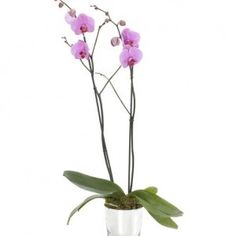 Soft Pink Single Orchid - Soft Pink Single Orchid in a mirrored planter (also available in white)