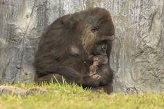 """Mary, une femelle gorille âgée de 27 ans, a donné naissance le 6 février dernier à un petit, au sein du zoo deBusch Gardens Tampa, en Floride. Depuis l'arrivée de son petit, la mère ne s'en sépare pas.Cette naissance est une vraie victoire pour les soigneurs, puisque les gorilles sont une espèce en danger. Il s'agit de la deuxième naissance en trois mois pour eux. """"Le premier mois est une période critique car la mère et le petit s'intègrent au troupeau déjà existant, donc les équipes de…"""