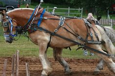 draft horses | two draft horses pulling