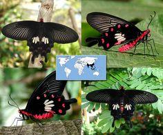 Common Rose   Pachliopta aristolochiae    Wingspan:  3.5 to 4.0 in Family: Papilionidae   Subfamily: Papilioninae   Tribe: Troidini  Photos © Ryan G. Fessenden