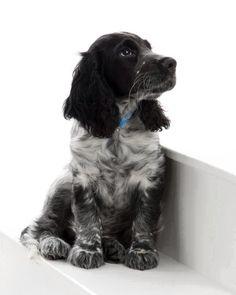 Blue / black english Springer Spaniel Puppy Dogs