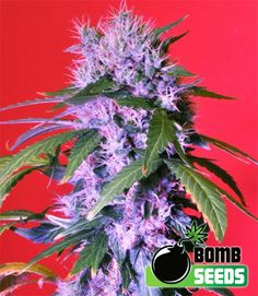 pineconeherb:    Berry Bomb AUTO Feminised Seeds by the cannabis breeder Bomb…