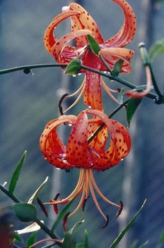 Turks cap lilies, my favorite!
