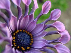 lilac spoon.  osteospermum