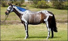 Die Anatomie von einem Pferd oder einem anderen Lebewesen zu verstehen, ist nicht immer ganz einfach. Um dies zu vereinfachen, wurden diese Pferde für...