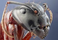 Head of a Large Red Ant in Macro