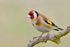 Photograph Goldfinch by Ferenc Hoffman on 500px