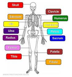 Science - The Human Skeleton
