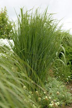 Switch grass 'Cloud Nine' • Panicum virgatum 'Cloud Nine' • Plants & Flowers • 99Roots.com