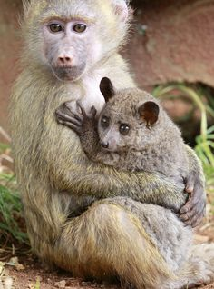 The Baboon and Her Galago | 19 Photos That Prove Love Knows No Bounds