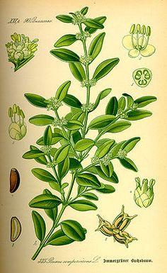 Illustration Buxus sempervirens0.jpg/Boj o Boje m. Arbusto buxáceo siempre verde...