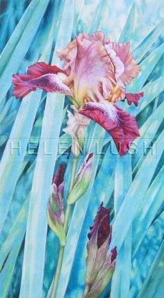 Watercolour painting of Bearded iris flowers. Original painting of pink and purple iris flowers and leaves.