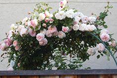 David Austin Roses - Eden Climber.  This is a beautiful climbing rose!  I love it!