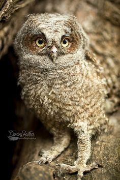 Baby Screech Owl Pinned by www.myowlbarn.com