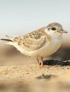 Critically endangered Little Terns, Hooded Plovers and Pied Oystercatchers have fledged chicks at nesting sites along the NSW South Coast despite bushfires and beach visitors. Vulnerable Species, Rare Birds, Shorebirds, Make It Through, Wild Birds, South Wales, Leo, National Parks, Coast