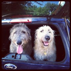 Ailie of the Northshire ( left ) and Bodhi (right)  Greene Wolfhound Adventures on Facebook.  Irish Wolfhounds