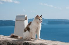 Aegean cat, a naturally occurring breed found originally in Greece. Their eyes are gorgeous, they look like they're wearing eyeliner...the true cat's eye eyeliner! They look like a calico tabby, but they are actually their own breed...Aegean Cat: A National Treasure Of Greece | CANIDAE® Blog