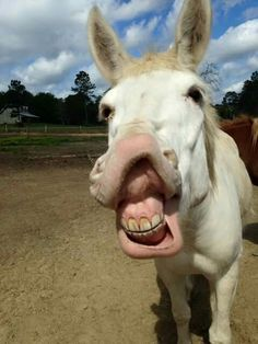 If you wonder what a donkey can eat, you can find all important feeding facts here. Take good care of your donkey with best information. Smiling Animals, Farm Animals, Animals And Pets, Funny Animals, Cute Animals, Cabras Animal, Beautiful Horses, Animals Beautiful, Cute Donkey