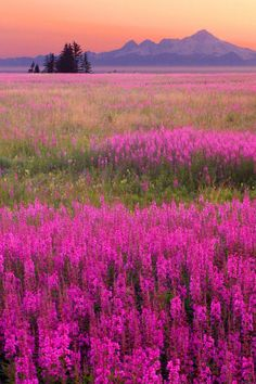 Alaska Fireweed by Steve Ellison, Alaska's most well know wildflower is the fireweed, (Epilobium angustifolium) which reaches peak bloom by late July and early August