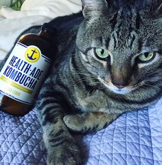Kats like Kombucha too   #kombucha #gingerlemon #tea #fermented #raw #organic #healthy #cat #catsofinstagram #healthade #probiotics #vegan #glutenfree by ciaochowbela