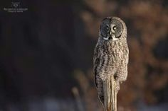 A magnificent Great Grey Owl in the morning light in Quebec, Canada. Photo thanks to Philippe De-Bruyne / Mon regard sur la nature. See more of his photos at monregardsurlanature.com. See more Great Greys here --> http://owlpag.es/GreatGreyOwl