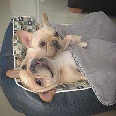 French Bulldogs @themonster_house • 1,013 likes
