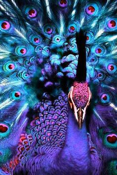Beautiful peacock, the blue, lavender/purple and pinks are breathtaking!