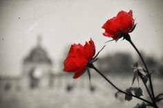 Red roses by TouTouke  on 500px